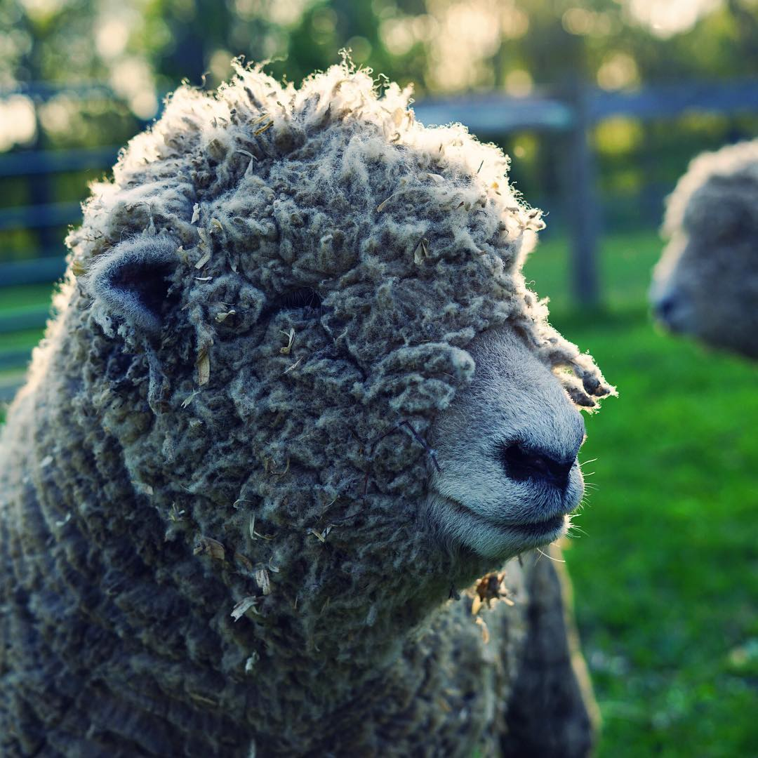 I think it's time to call the shearer. #sheepofinstagram