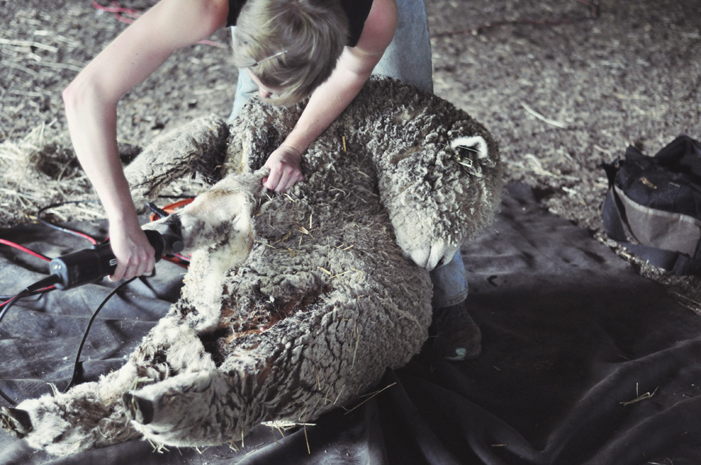 Shave And A Haircut Shearing The Sheep Mommycoddle