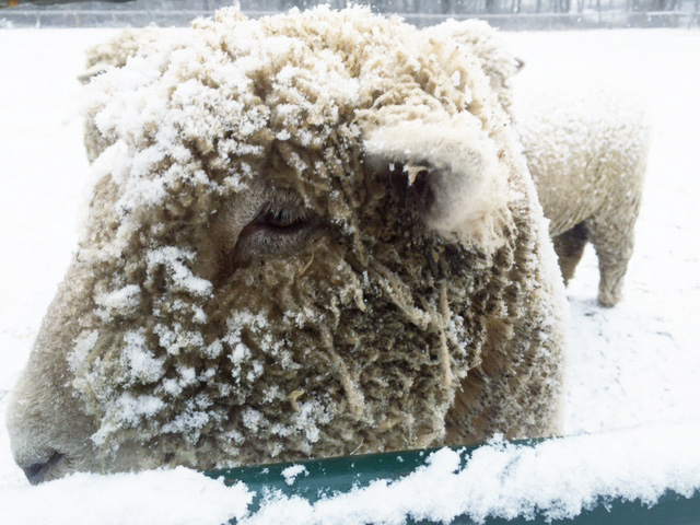 lambs in the snow at Woodlawn via MommyCoddle