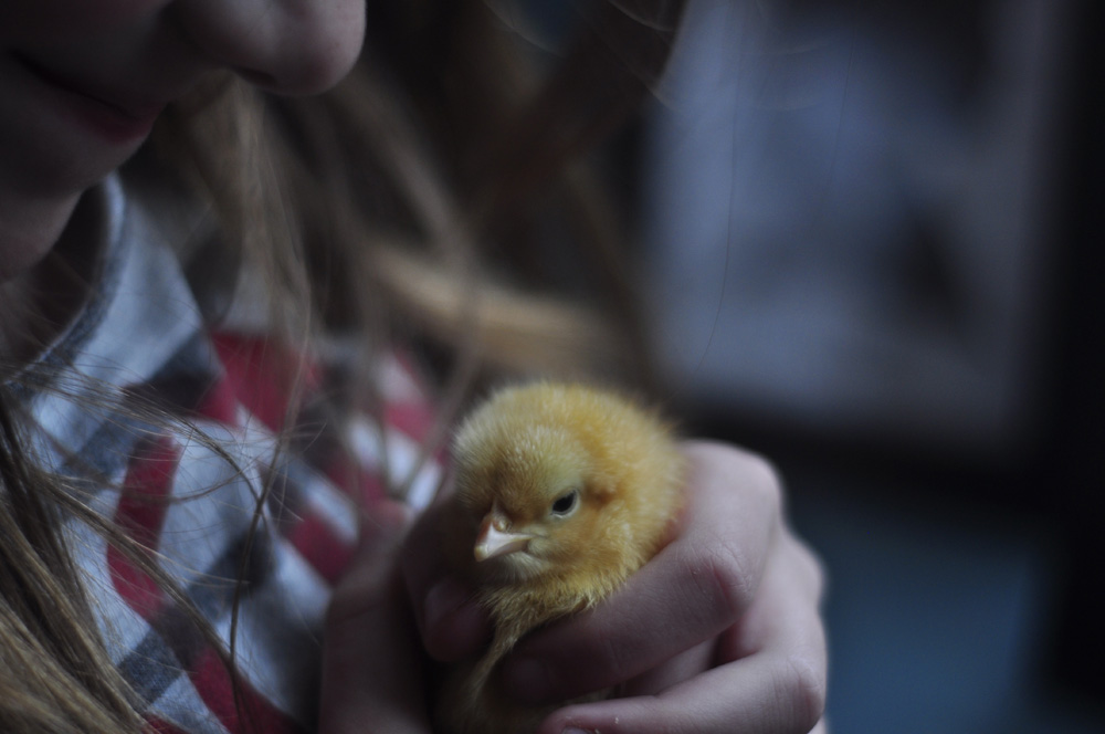 A great guide to what you really need to know in order to successfully (and simply) raise baby chicks.