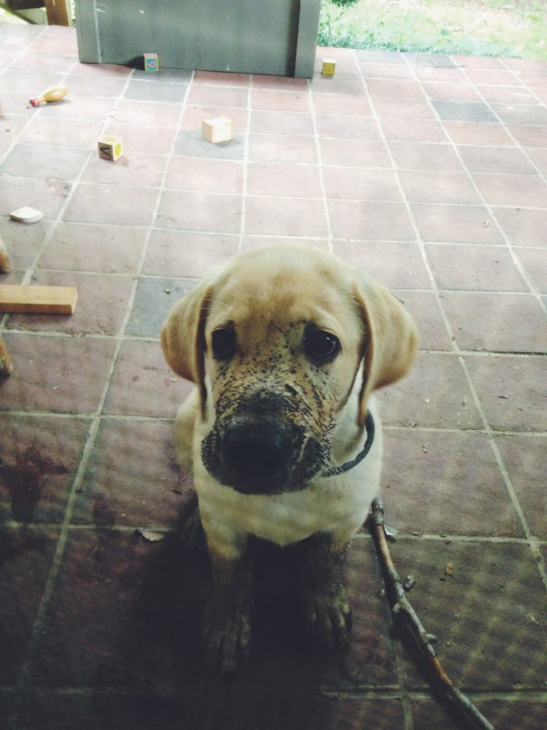 williebalint-labrador-puppy