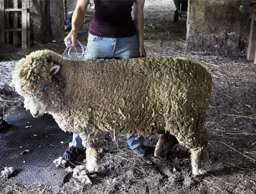 sheep_shearing_pictures