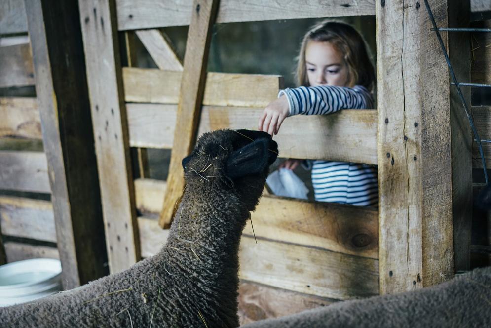 4H-lambs-new-lambs-mollybalint